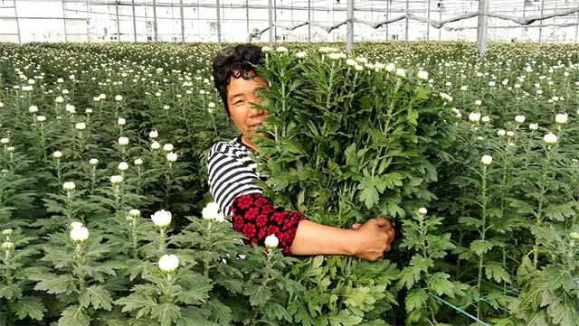 """2▲这种名叫""""优香""""的白菊常年出口日本"""